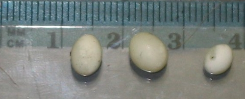 Яйца улиток