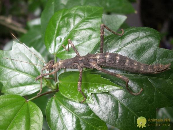 Привиденьевые или палочники (Phasmoptera)