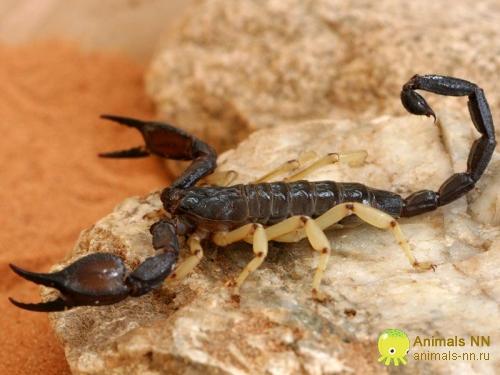 Скорпион Nebo hierichonticus, N. hierichonticus
