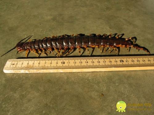 Сколопендра гигантская (Scolopendra gigantea)