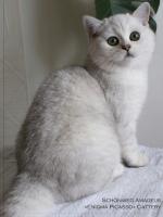Питомник Richwool,Британская кошка