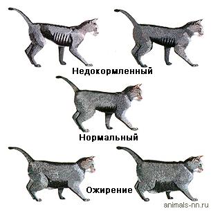 у котенка лишний вес