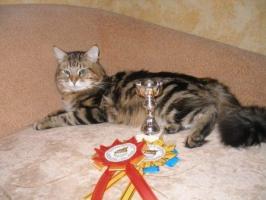 Сибериус, Сибирская кошка