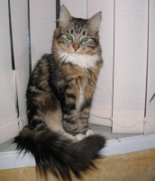 Сибериус,Сибирская кошка