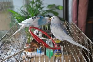 определение пола у волнистых попугаев