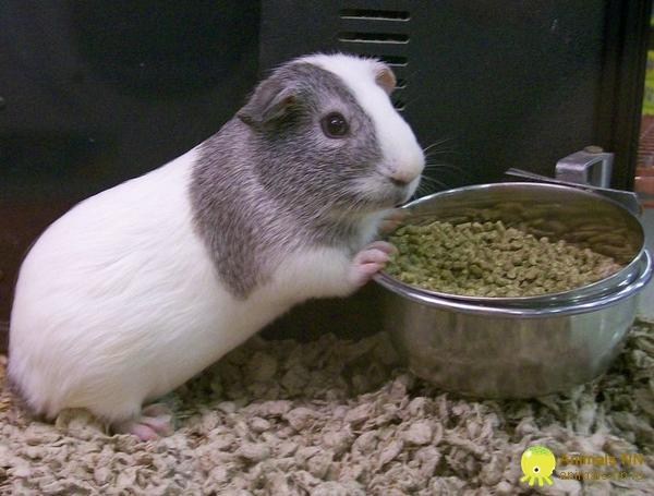 Все о морской свинки в домашних условиях
