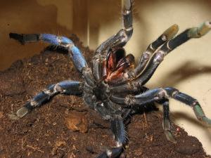паук-птицеед Haplopelma lividum
