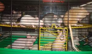 Совместное содержание крыс