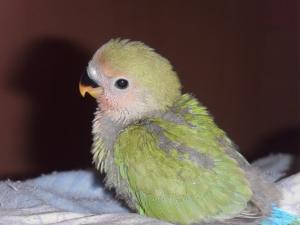 Птенец попугая